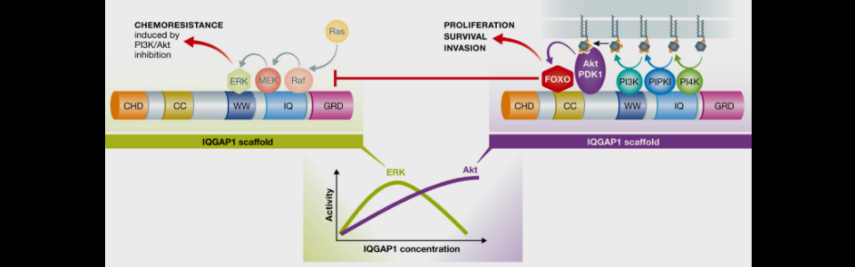 Agonist-stimulated PI 3-kinase and Erk kinase pathways are controlled by IQGAP1